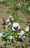 Viooltjebloem - Eutopia-Tuinenrozentuin Royalty-vrije Stock Foto's