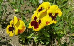Viooltjebloem - Eutopia-Tuinenrozentuin Royalty-vrije Stock Fotografie