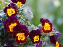 Viooltjebloemen in twee kleuren Royalty-vrije Stock Afbeeldingen