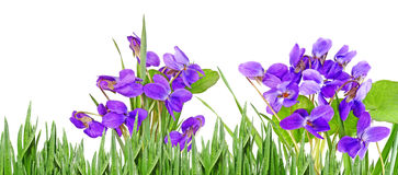 viooltjes Royalty-vrije Stock Afbeeldingen