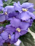 viooltjes stock foto