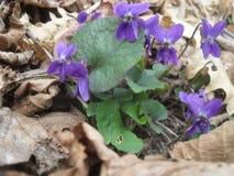 viooltjes Stock Foto's