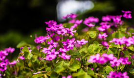 viooltjes royalty-vrije stock afbeelding