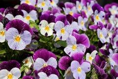 Viooltjesbloemen royalty-vrije stock afbeelding