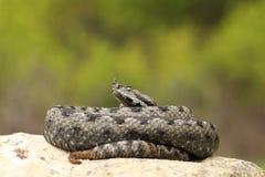 Vipère à cornes de grand nez dangereux se dorant sur une roche Photo libre de droits