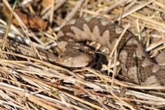 Vipère à cornes de grand nez femelle, portrait dans l'habitat naturel Photo libre de droits