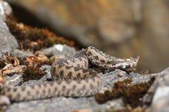Vipère à cornes de nez dans l'habitat naturel Photographie stock libre de droits