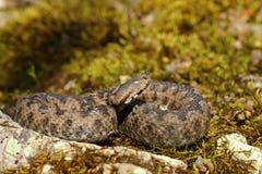 Vipère à cornes de nez se dorant dans l'habitat naturel Photographie stock libre de droits