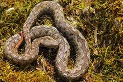 Vipère à cornes de nez se dorant dans l'habitat naturel Photos libres de droits