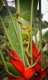 Vipère d'or de mine de cil rampant vers le haut de Heliconia rouge en Costa Ri image stock