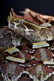 Vipère de rhinocéros Images stock