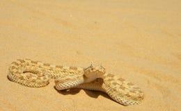 Vipère de sable du Sahara Photos libres de droits