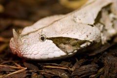 Vipère du Gabon, Bitis Gabonica photographie stock libre de droits