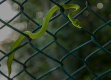 Vipère en bambou oui coupée la queue de mine Photo libre de droits