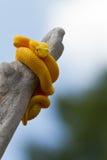 Vipère jaune de cil Photo stock