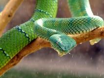 Vipère verte photographie stock libre de droits