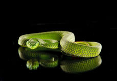 Vipère verte rare Photo libre de droits