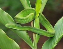 Vipère verte venimeuse de mine d'arbre, Costa Rica Image stock