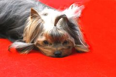 VIP σκυλιών Στοκ εικόνα με δικαίωμα ελεύθερης χρήσης