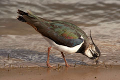 Vipa - Vanellusvanellus Royaltyfri Fotografi