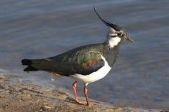 Vipa - Vanellusvanellus Arkivfoto