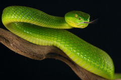 Viper. The white lipped viper is an medium sized venomous snake from tropical South East Asia Stock Photo