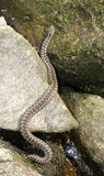 Viper. Snake on stones outdoor royalty free stock photo