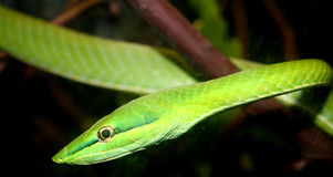 Viper. Beautiful green tree snake Stock Image