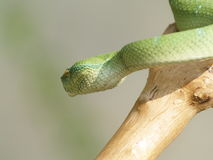 The viper. A snake is crawling on a branch Stock Photo