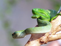 The viper. A snake is crawling on a branch Stock Photos