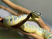 The viper. A snake is crawling on a branch Royalty Free Stock Image