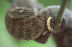 viper zdjęcie stock