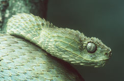 Viper. Green Bush Viper royalty free stock photography