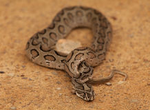 Viper Stock Images