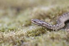 Viper auf dem Drenthe-Heide Lizenzfreies Stockfoto