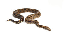 Viper and boa. Collection of viper, natter and boa isolated on white background Stock Photography