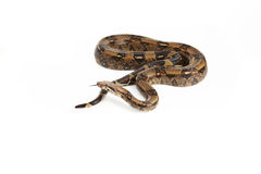 Viper and boa Royalty Free Stock Photo