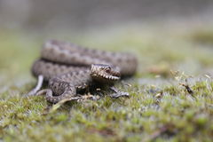 Viper on the Drenthe heath Royalty Free Stock Photos