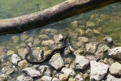 Viper and fish royalty free stock photography