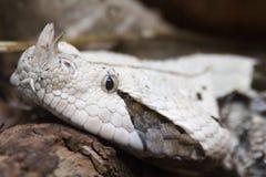 viper gabonica bitis Gabon Obraz Stock