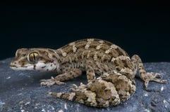 Viper gecko / Teratolepis fasciata Royalty Free Stock Image