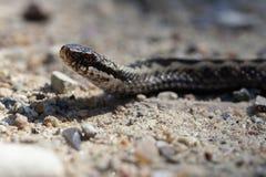 Viper on gravel Stock Images