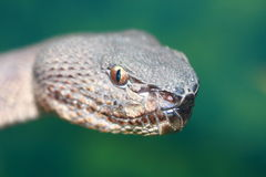 Viper head Royalty Free Stock Photos