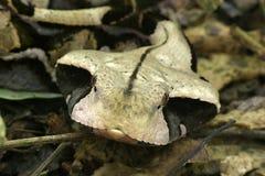 Viper head. Head of gabon viper Royalty Free Stock Image