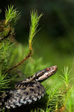 Viper prepare for attack. / Vipera berus, the common European adder or common European viper, is a venomous viper species that is extremely widespread Royalty Free Stock Photos