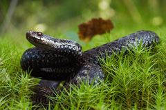 Viper preparing for a throw. The snake with has returned and prepares for a throw Stock Images