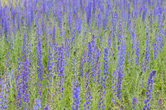 Viper's Bugloss, Blueweed, Echium vulgare. Blue blooming flower field, natural environment Stock Photo