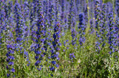 Viper`s bugloss - one of the symbols of Gotland Sweden. Echium vulgare — known as viper`s bugloss and blueweed is one of the symbols of Gotland Royalty Free Stock Images