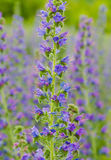 Viper's bugloss plant (Echium vulgare) Royalty Free Stock Photos