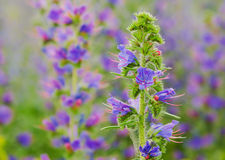 Viper's bugloss plant (Echium vulgare) Stock Photos